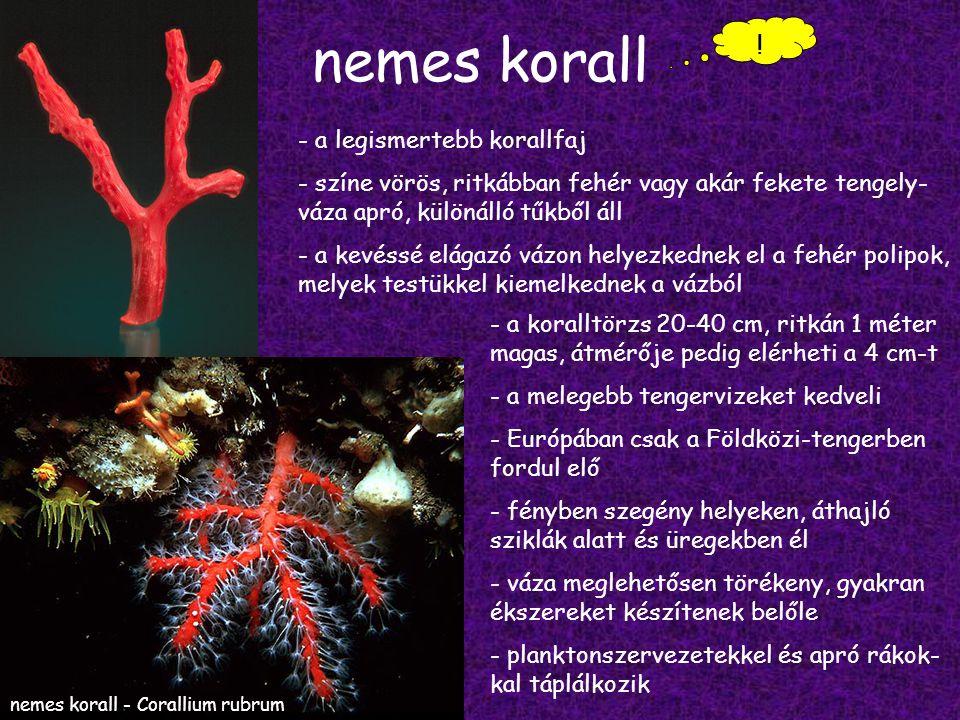 nemes korall .