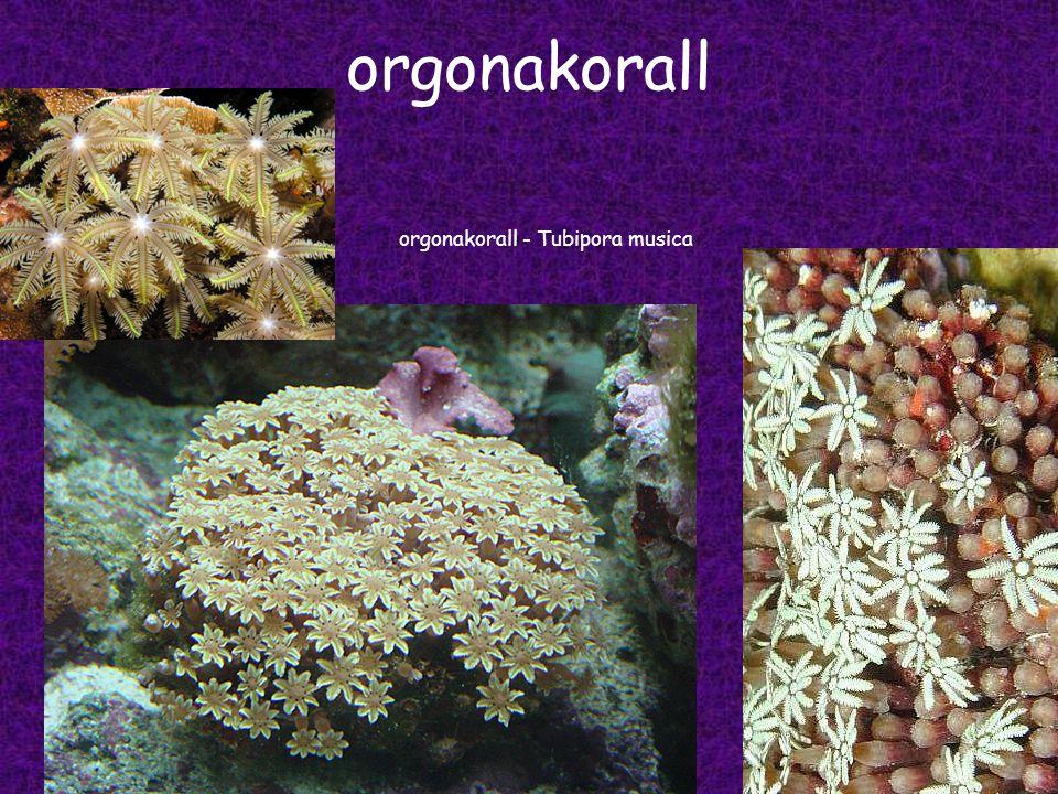 orgonakorall orgonakorall - Tubipora musica