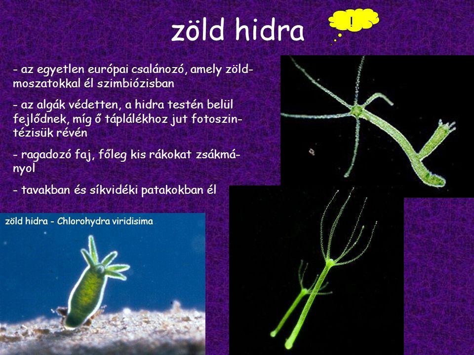 zöld hidra zöld hidra - Chlorohydra viridisima .