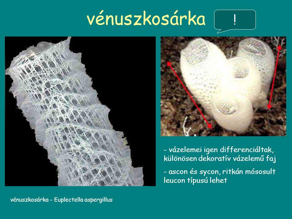 vénuszkosárka vénuszkosárka - Euplectella aspergillus - vázelemei igen differenciáltak, különösen dekoratív vázelemű faj - ascon és sycon, ritkán mósosult leucon típusú lehet !