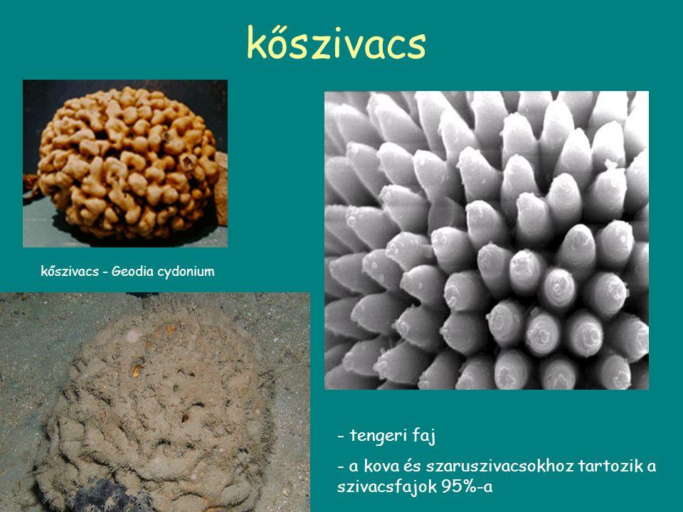 kőszivacs kőszivacs - Geodia cydonium - tengeri faj - a kova és szaruszivacsokhoz tartozik a szivacsfajok 95%-a