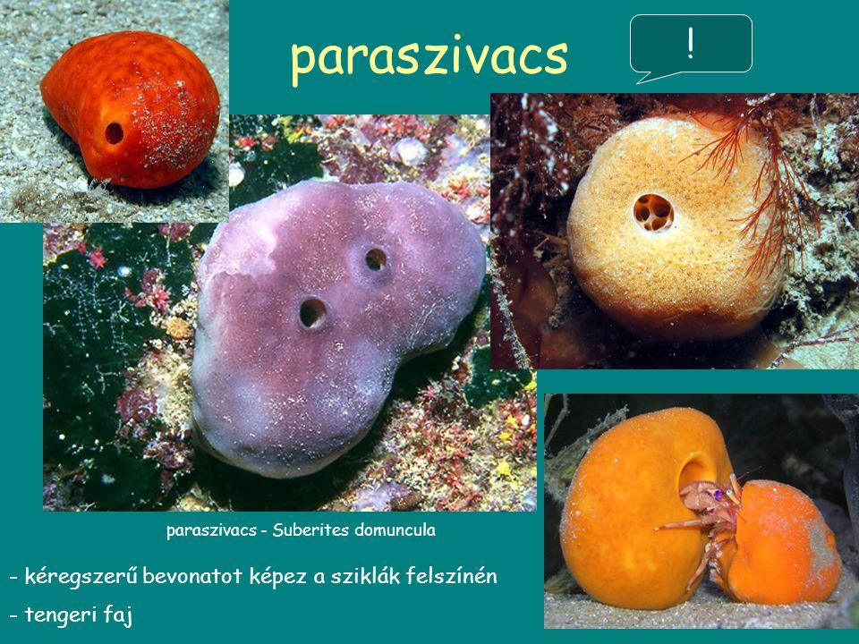 paraszivacs paraszivacs - Suberites domuncula - kéregszerű bevonatot képez a sziklák felszínén - tengeri faj !