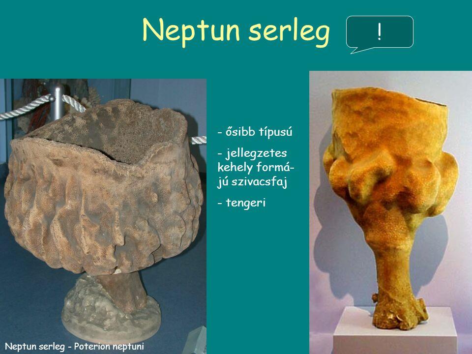 Neptun serleg - ősibb típusú - jellegzetes kehely formá- jú szivacsfaj - tengeri Neptun serleg - Poterion neptuni !