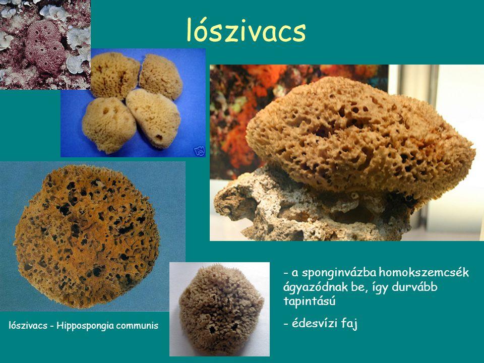 lószivacs lószivacs - Hippospongia communis - a sponginvázba homokszemcsék ágyazódnak be, így durvább tapintású - édesvízi faj