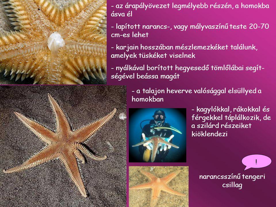 narancsszínű tengeri csillag ! - az árapályövezet legmélyebb részén, a homokba ásva él - lapított narancs-, vagy mályvaszínű teste 20-70 cm-es lehet -