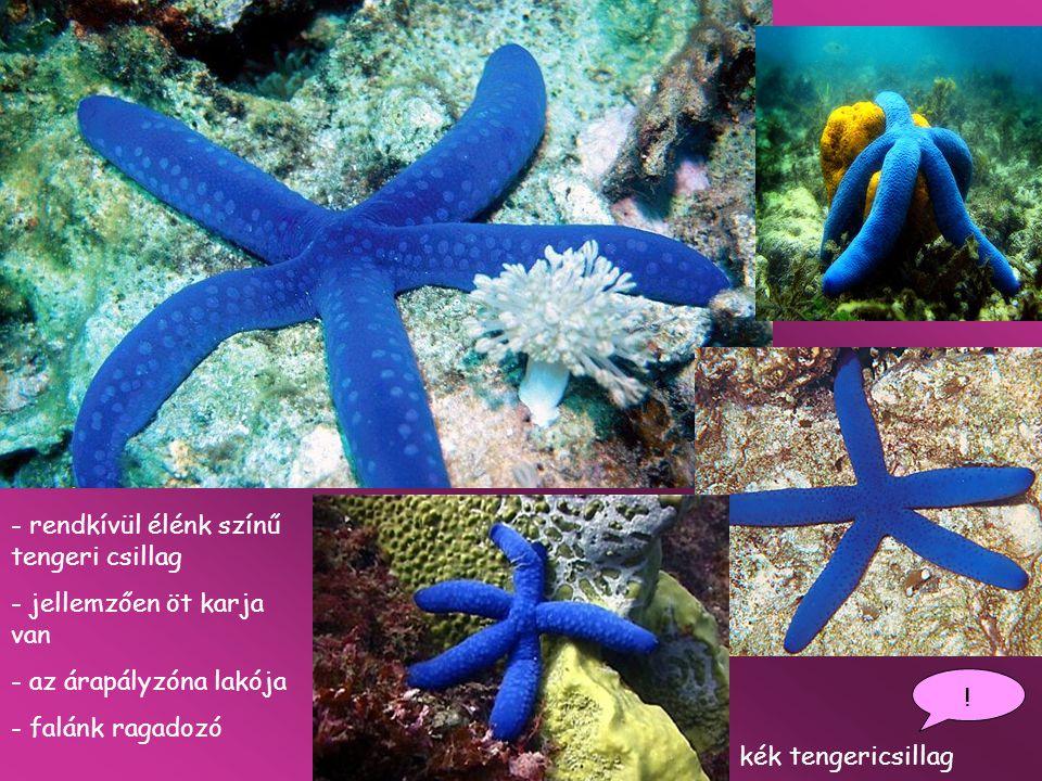 kék tengericsillag ! - rendkívül élénk színű tengeri csillag - jellemzően öt karja van - az árapályzóna lakója - falánk ragadozó