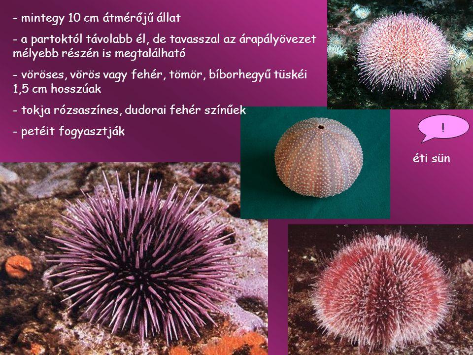 óriás tengeri uborka