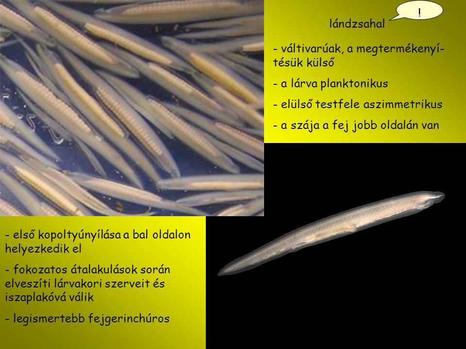 lándzsahal ! - váltivarúak, a megtermékenyí- tésük külső - a lárva planktonikus - elülső testfele aszimmetrikus - a szája a fej jobb oldalán van - els
