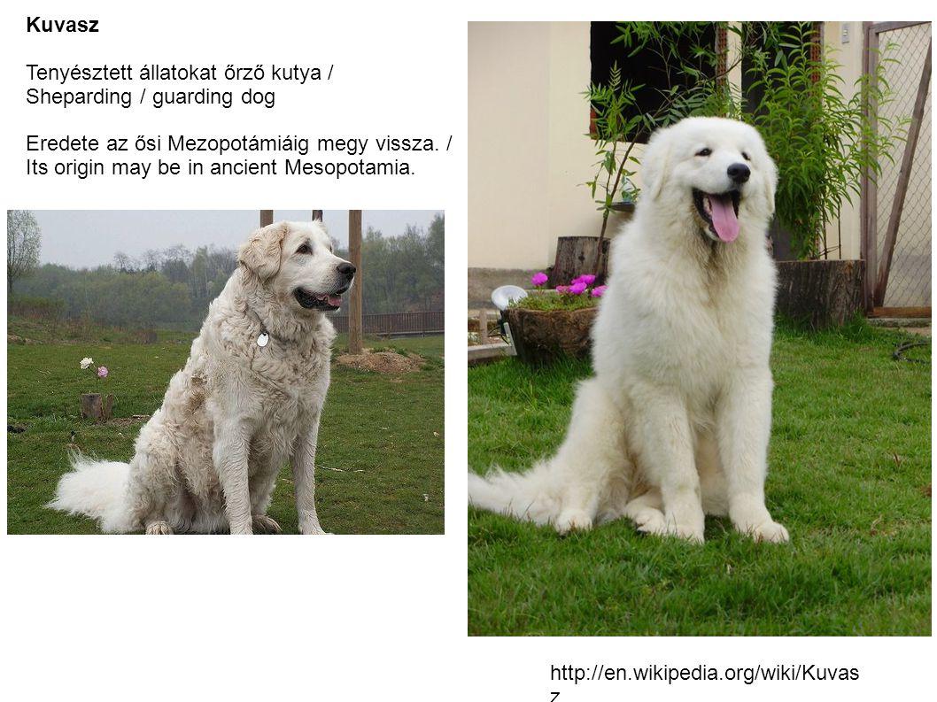 Kuvasz Tenyésztett állatokat őrző kutya / Sheparding / guarding dog Eredete az ősi Mezopotámiáig megy vissza.