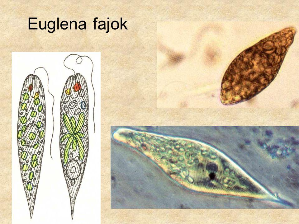 Euglena fajok