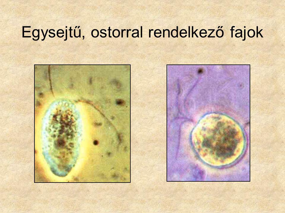 Egysejtű, ostorral rendelkező fajok