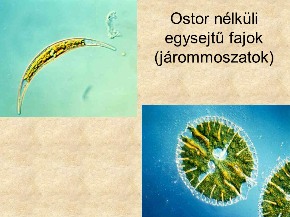 Ostor nélküli egysejtű fajok (járommoszatok)