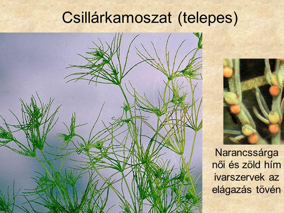 Csillárkamoszat (telepes) Narancssárga női és zöld hím ivarszervek az elágazás tövén