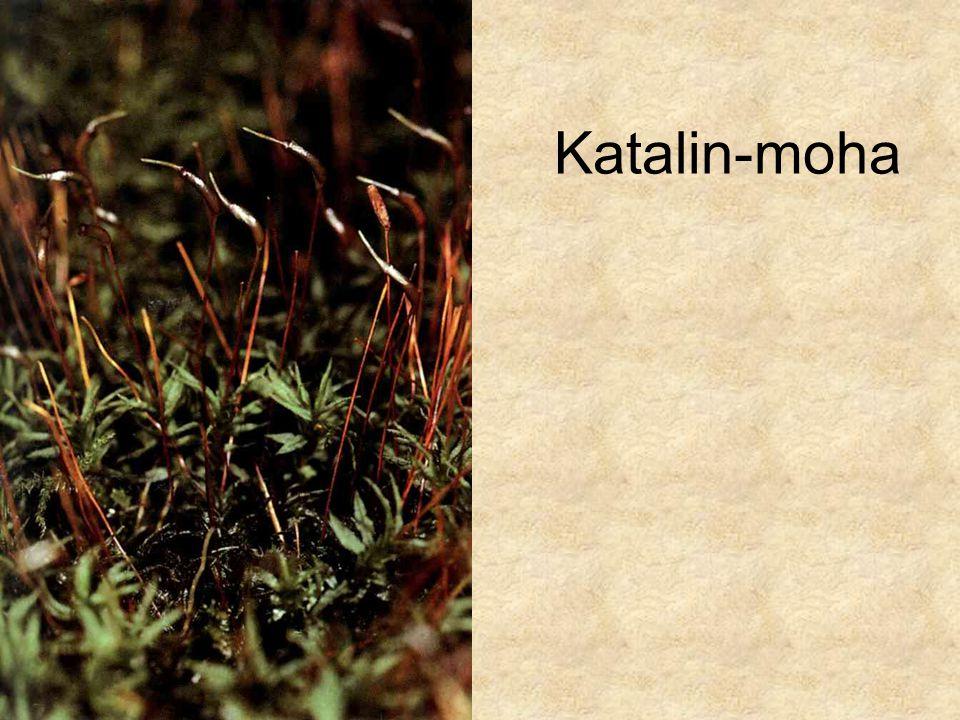 Katalin-moha