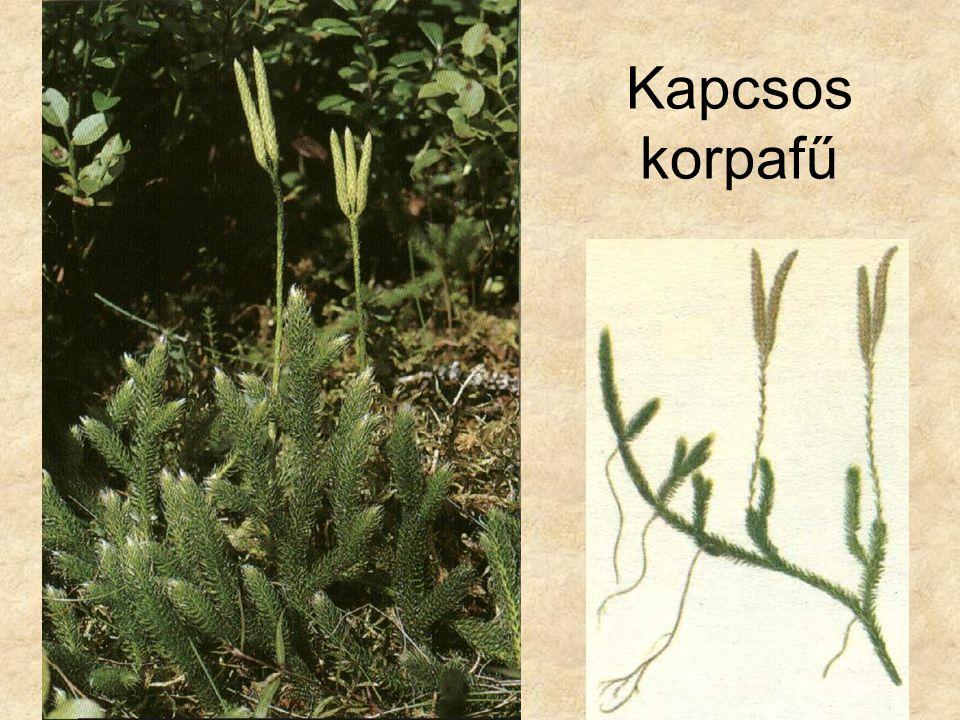 Mezei zsurló Spóratermő hajtás Fiatal fotoszintetizáló h.