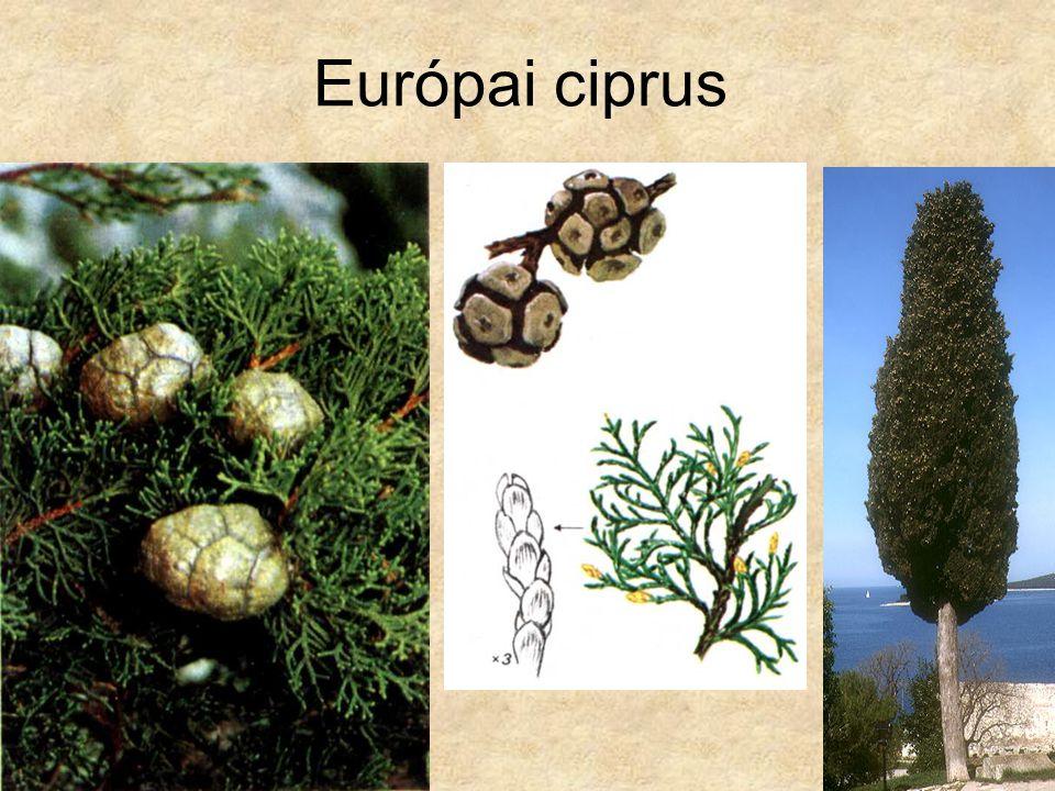 Európai ciprus