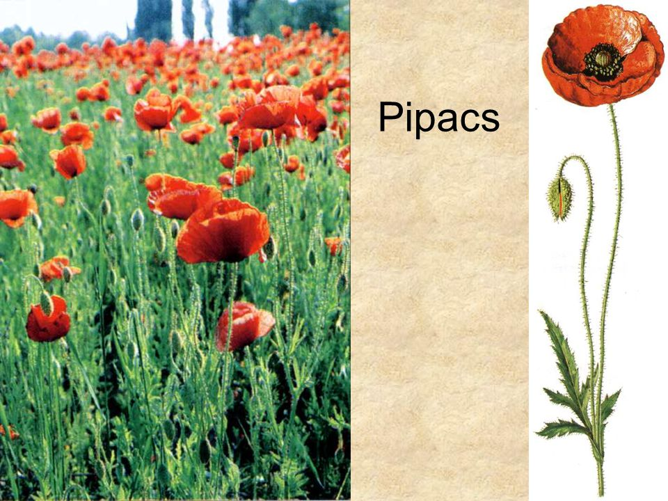 Pipacs