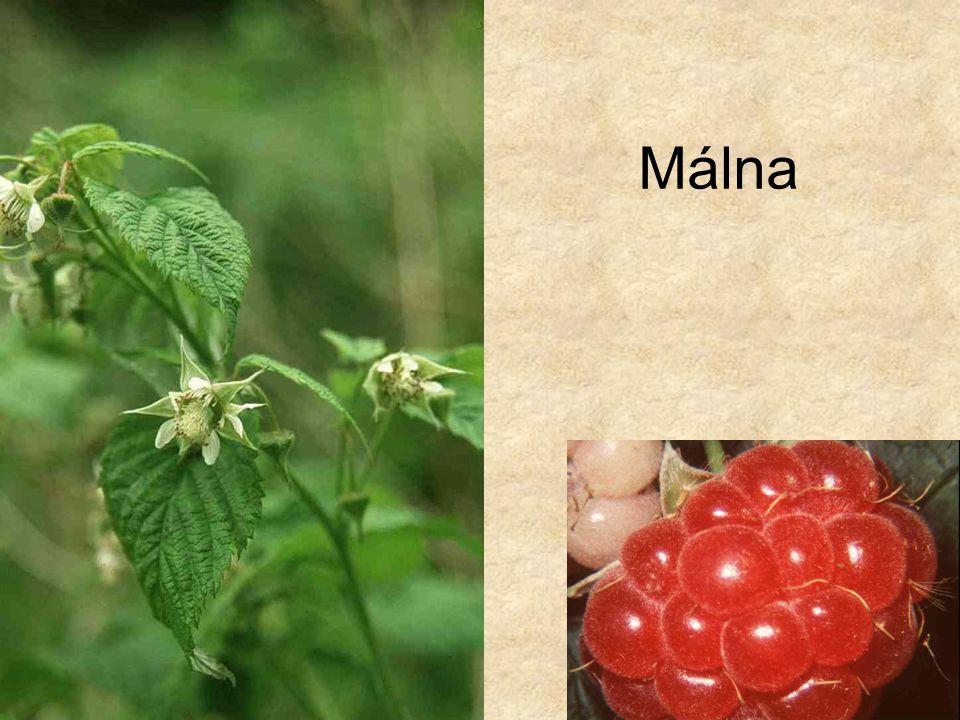 Málna