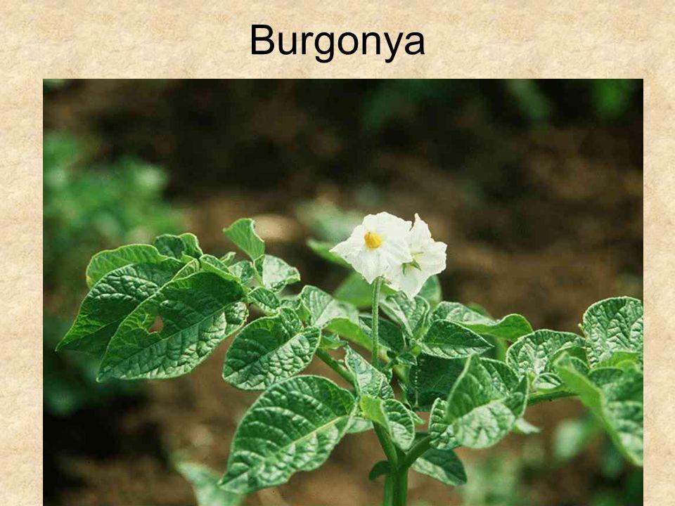 Burgonya