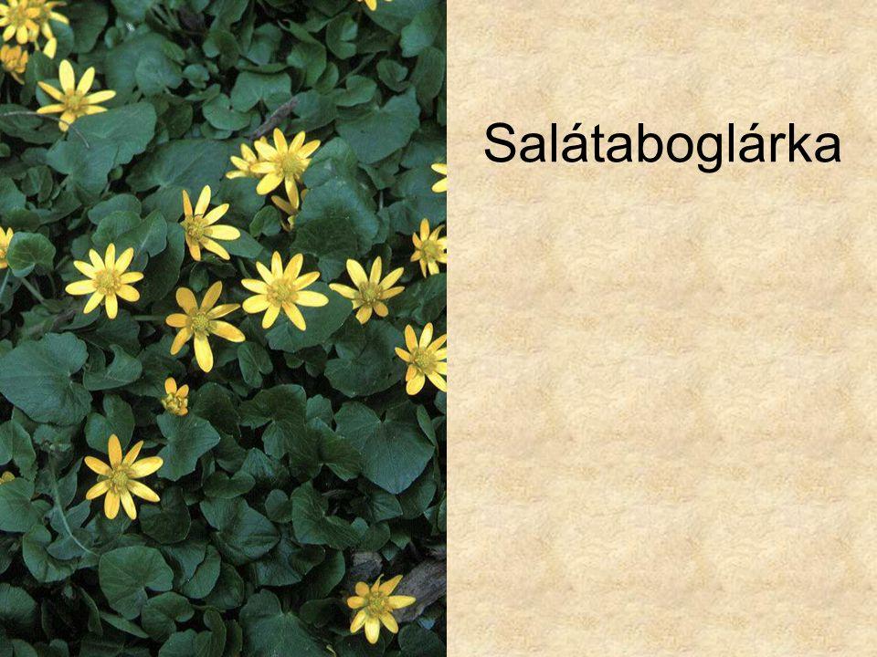 Salátaboglárka