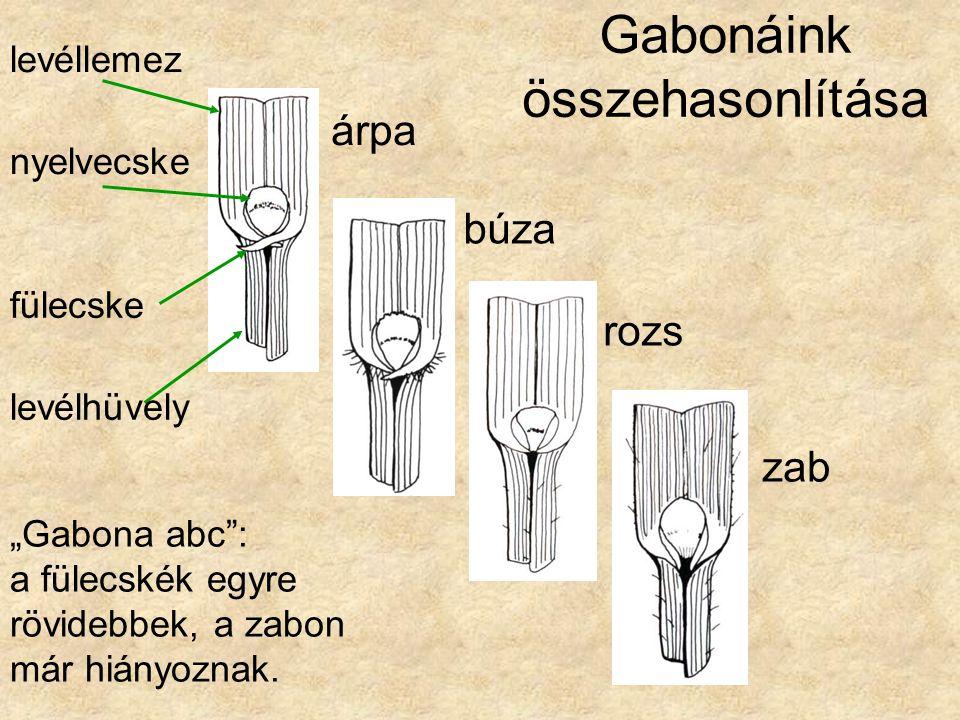 """Gabonáink összehasonlítása árpa búza rozs zab fülecske """"Gabona abc"""": a fülecskék egyre rövidebbek, a zabon már hiányoznak. levéllemez nyelvecske levél"""