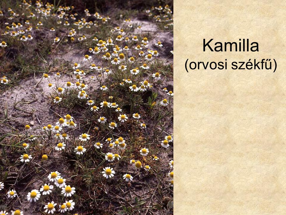 Kamilla (orvosi székfű)