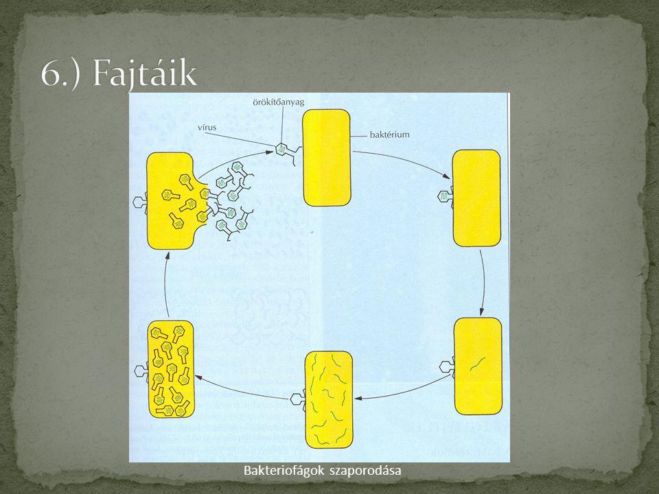 Bakteriofágok szaporodása