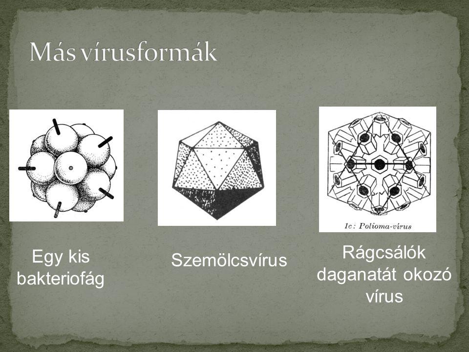 Egy kis bakteriofág Rágcsálók daganatát okozó vírus Szemölcsvírus