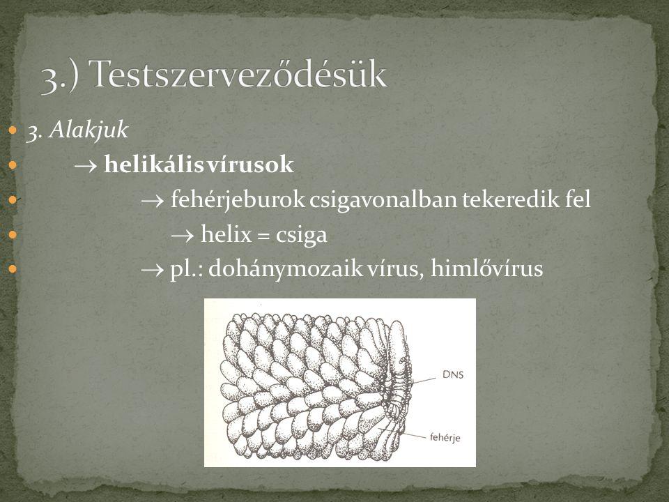 3. Alakjuk  helikális vírusok  fehérjeburok csigavonalban tekeredik fel  helix = csiga  pl.: dohánymozaik vírus, himlővírus