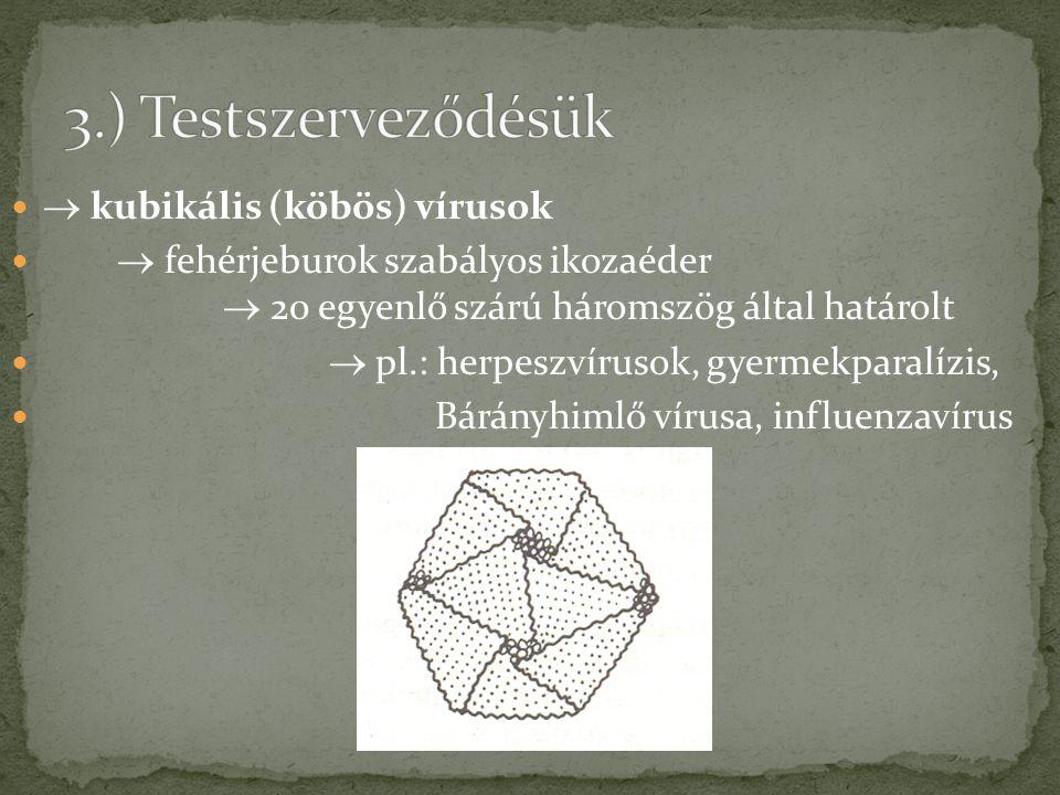  kubikális (köbös) vírusok  fehérjeburok szabályos ikozaéder  20 egyenlő szárú háromszög által határolt  pl.: herpeszvírusok, gyermekparalízis, Bá