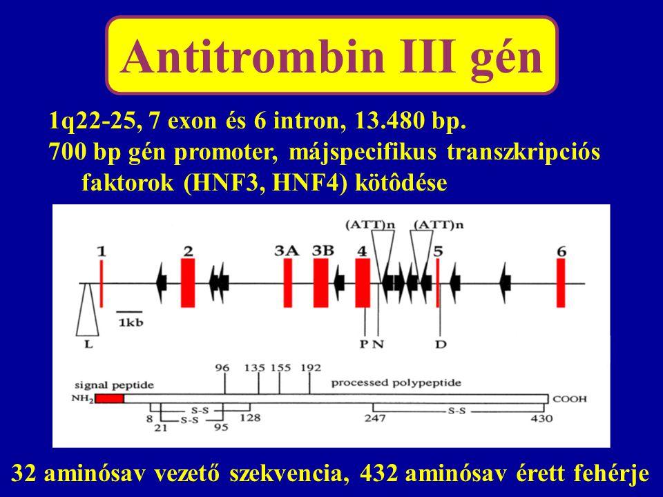 Antitrombin III gén 1q22-25, 7 exon és 6 intron, 13.480 bp. 700 bp gén promoter, májspecifikus transzkripciós faktorok (HNF3, HNF4) kötôdése 32 aminós