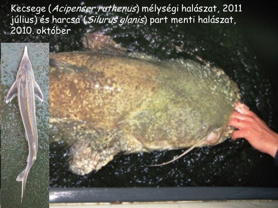 Kecsege (Acipenser ruthenus) mélységi halászat, 2011 július) és harcsa (Silurus glanis) part menti halászat, 2010.