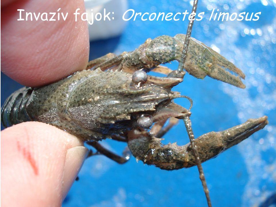 Invazív fajok: Orconectes limosus