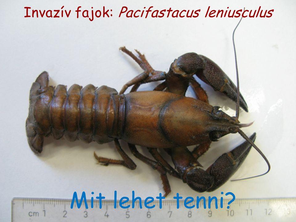 Invazív fajok: Pacifastacus leniusculus Mit lehet tenni?