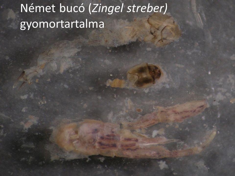Német bucó (Zingel streber) gyomortartalma