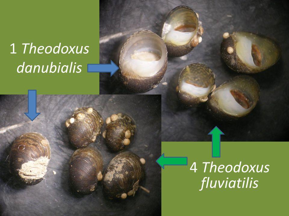 1 Theodoxus danubialis 4 Theodoxus fluviatilis