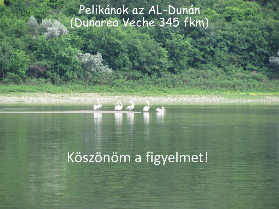 Pelikánok az AL-Dunán (Dunarea Veche 345 fkm) Köszönöm a figyelmet!