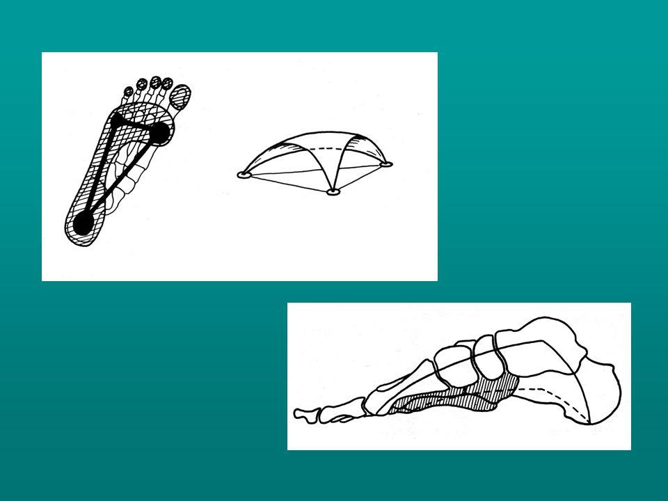 A metarasusok basisainak a lábközéphez való ívelt ízesülése alakítja ki a haránt boltívet, mely proximalisan magasabb, csúcsa a II.
