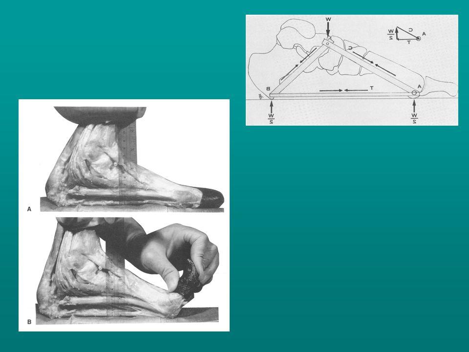 A rövid talpi izmok jelentősége az ujjak hajlítása révén a láb elrugaszkodása során a súlyviselésben, stabilitásban való közreműködés, de a lábboltozat fenntartásában nincs szerepük.