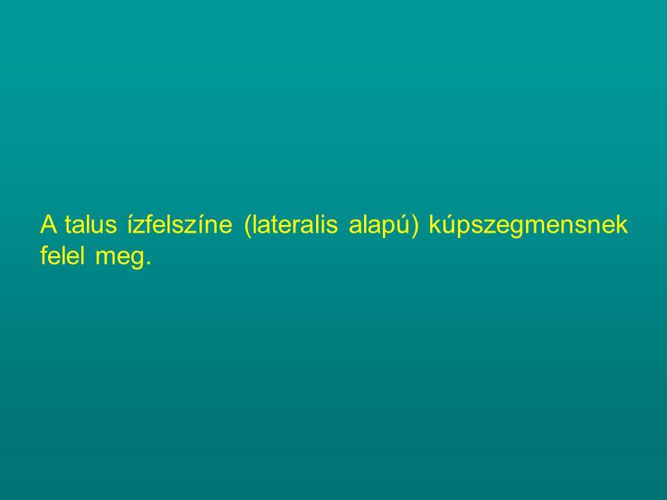 A talus ízfelszíne (lateralis alapú) kúpszegmensnek felel meg.