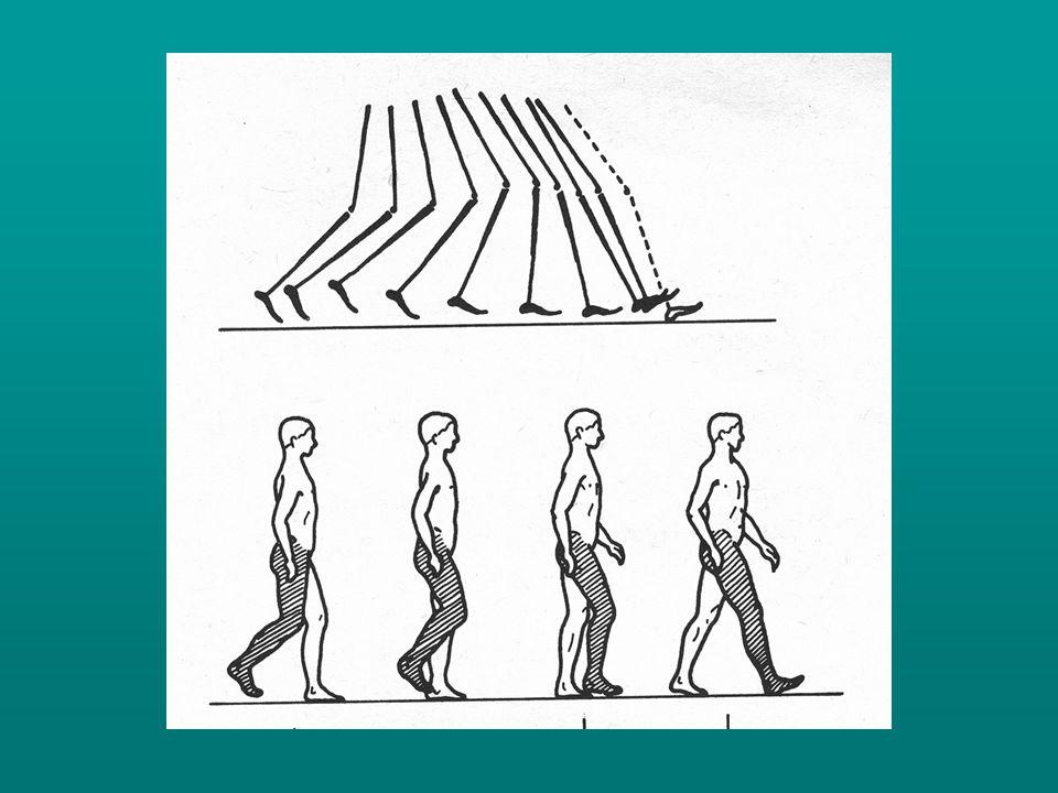 Normális körülmények között a járási ciklusok periódusosan ismétlődve követik egymást az azonos, ill.