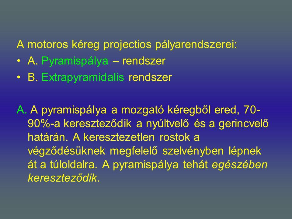 A motoros kéreg projectios pályarendszerei: A. Pyramispálya – rendszer B. Extrapyramidalis rendszer A. A pyramispálya a mozgató kéregből ered, 70- 90%