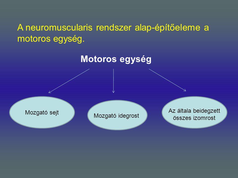A neuromuscularis rendszer alap-építőeleme a motoros egység. Motoros egység Mozgató sejt Mozgató idegrost Az általa beidegzett összes izomrost