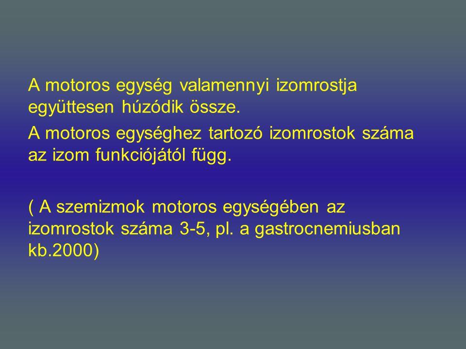 A motoros egység valamennyi izomrostja együttesen húzódik össze. A motoros egységhez tartozó izomrostok száma az izom funkciójától függ. ( A szemizmok