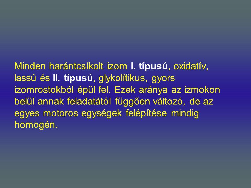 Minden harántcsíkolt izom I. típusú, oxidatív, lassú és II. típusú, glykolítikus, gyors izomrostokból épül fel. Ezek aránya az izmokon belül annak fel