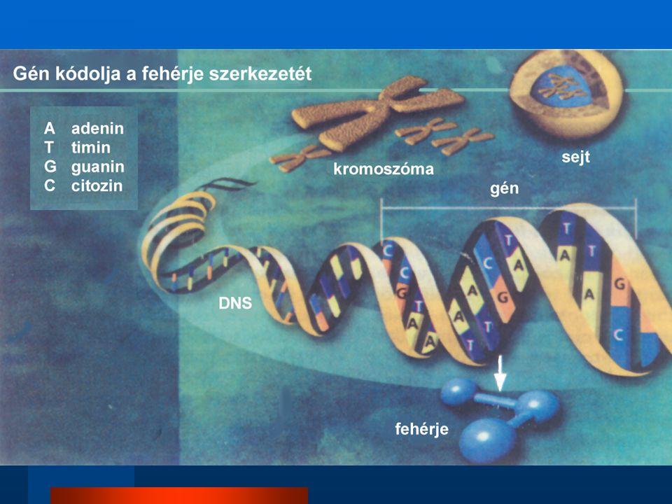 """A genetikai tervrajz megvalósítása – és elrontása ( """"mutációk ) CCCAAGGCTGATTTTTAC ArgLysAlaAspPheTyr HOLVANDNSOTTVANGÉN GOLVANDNSOTTVANGÉN HOVANDNSOTTVANGÉN HOOLVANDNSOTTVANGÉN HOL VAN"""