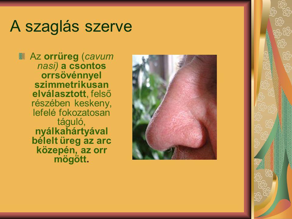 A szaglás szerve Az orrüreg (cavum nasi) a csontos orrsövénnyel szimmetrikusan elválasztott, felső részében keskeny, lefelé fokozatosan táguló, nyálka