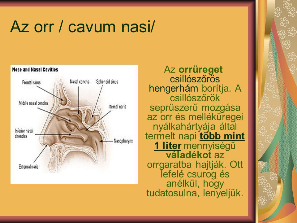 Az orr / cavum nasi/ Az orrüreget csillószőrös hengerhám borítja.