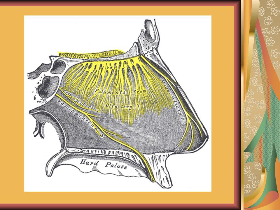Szaganyagok típusai Illékony anyagok - a levegővel jut el a szaglóreceptorokig Zsírban oldódó anyagok- feloldódik az orr váladékában