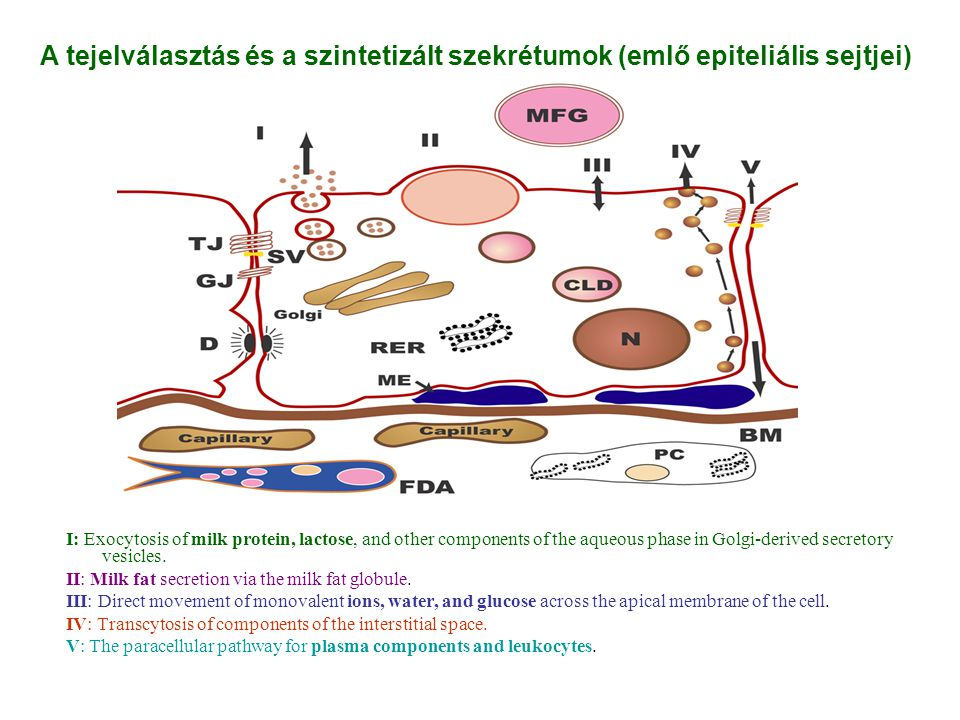 I: Exocytosis of milk protein, lactose, and other components of the aqueous phase in Golgi-derived secretory vesicles.